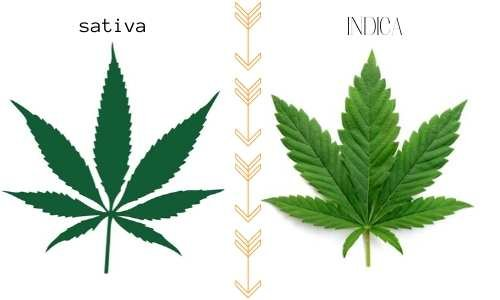 cannabis-indica-sativa
